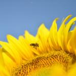 Premiers tournesols, les abeilles du voisin en profitent