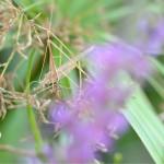Camouflage de sauterelle