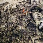 un opilion ou faucheux (et non une araignée)qui est en effet bien parasité par des acariens prostigmates.