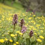 orchidee robert pissenlits